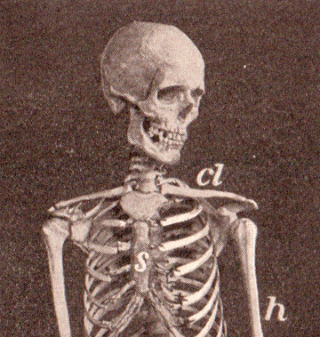 Adapted from Sue Clark (Flickr: pg 192 Human Skeleton, public domain
